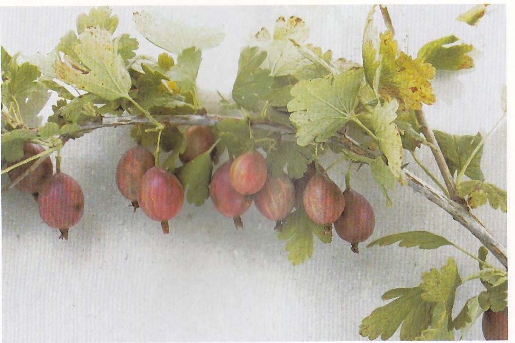 RIBES uva-crispa ´Captivator´