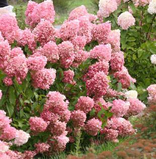 Hydrangea paniculata ´Pinkachu´® PW®