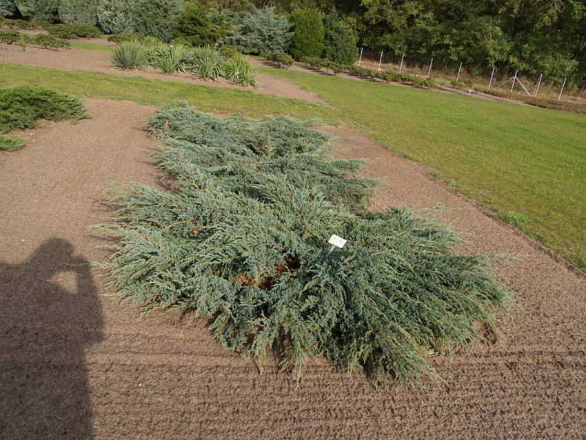 JUNIPERUS squamata ´Blue Carpet´