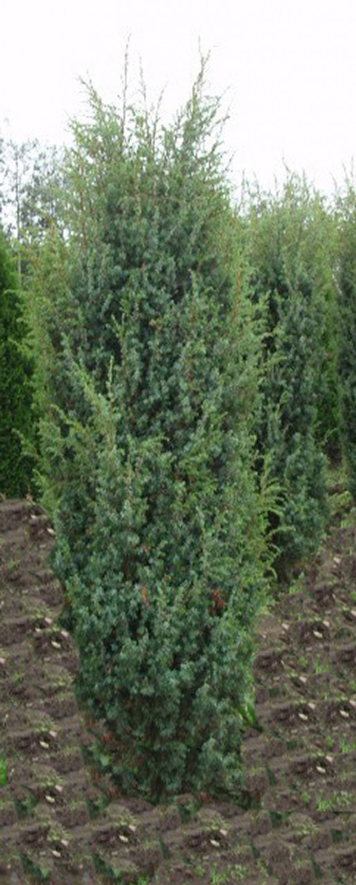 JUNIPERUS communis ´Meyer´ (= communis suecica major)