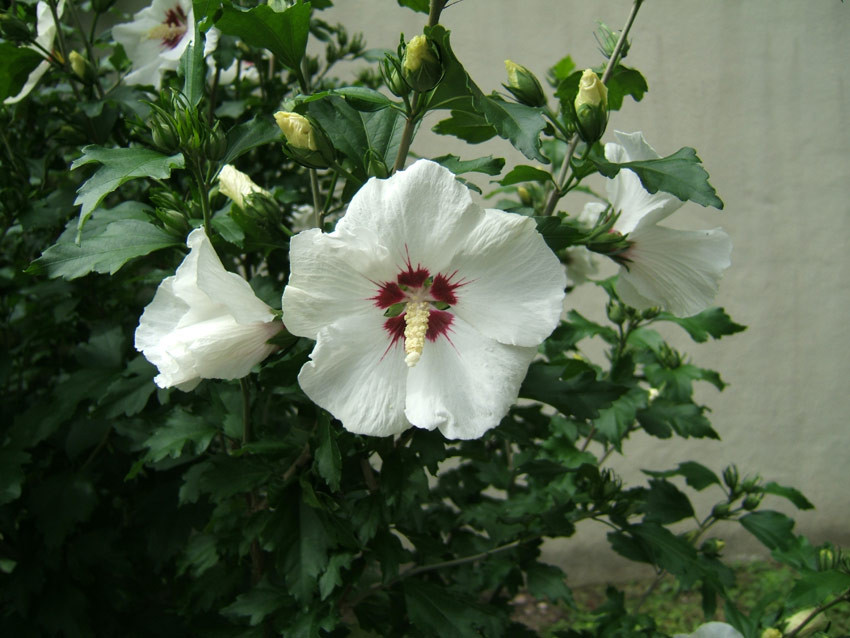 HIBISCUS syriacus ´Red Heart´