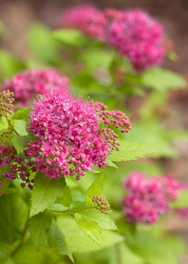 SPIRAEA japonica ´Double Play® Gold´ (´Yan´) PW®