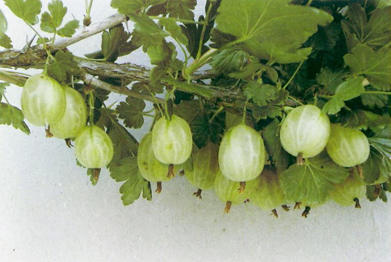 RIBES uva-crispa ´Invicta´ (=´Invictus´)