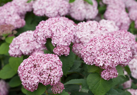 HYDRANGEA arborescens ´Sweet Annabelle´® (´Incrediball® Blush´) (´NCHA4´)Ⓢ PW®