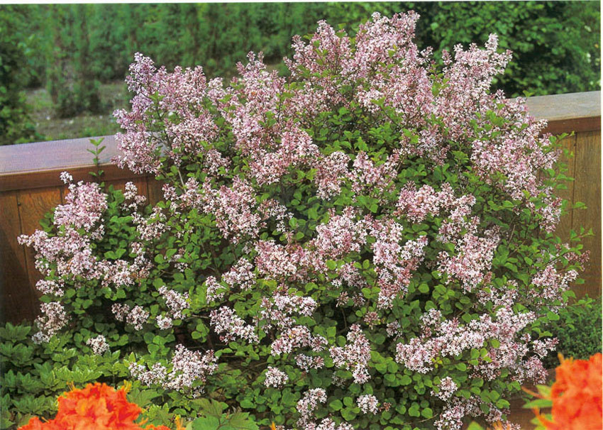 SYRINGA meyeri ´Palibin´ (= palibiniana Hort. non Nakai, microphylla ´Minor´, velutina Hort.)