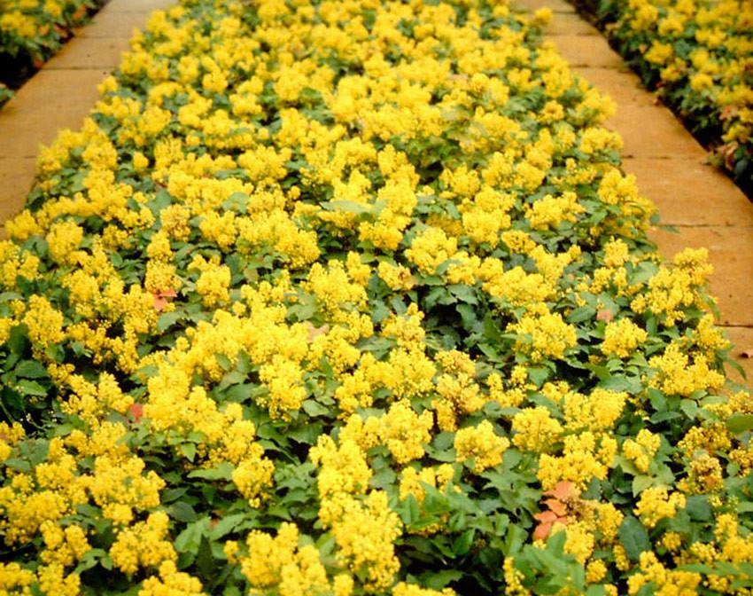 MAHONIA aquifolium ´Apollo´