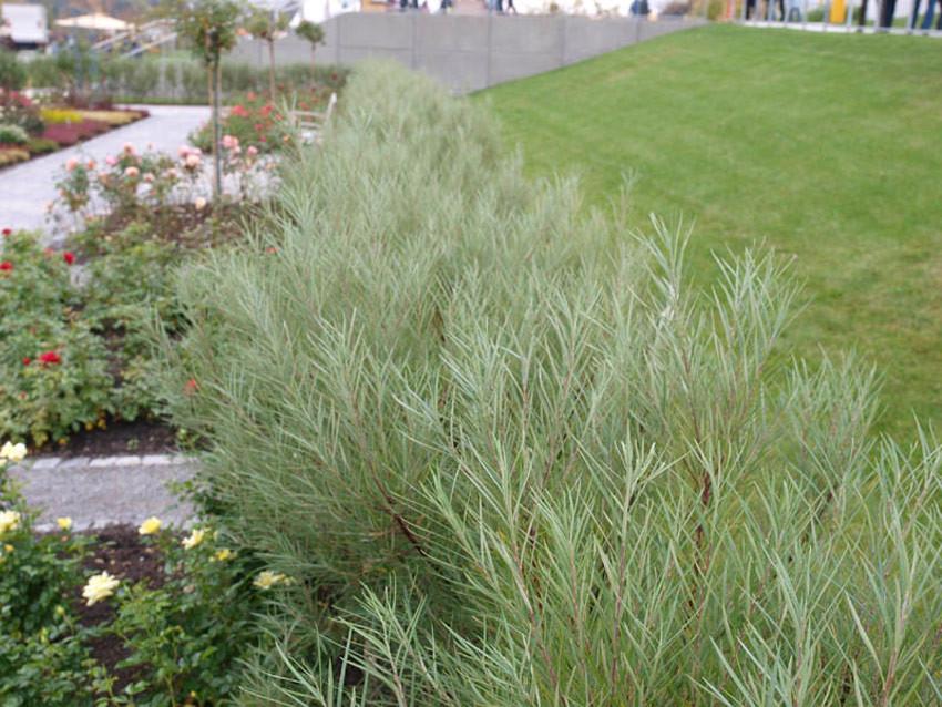 SALIX rosmarinifolia (= repens var. rosmarinifolia, sibirica)