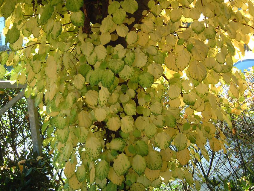 HYDRANGEA petiolaris (= anomala ssp. petiolaris)
