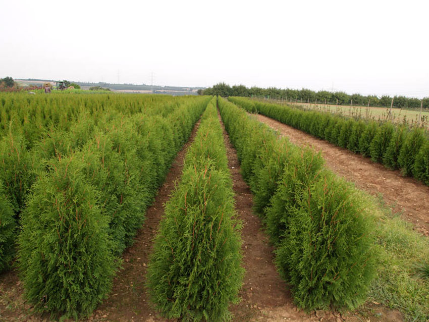 THUJA occidentalis ´Weimar´