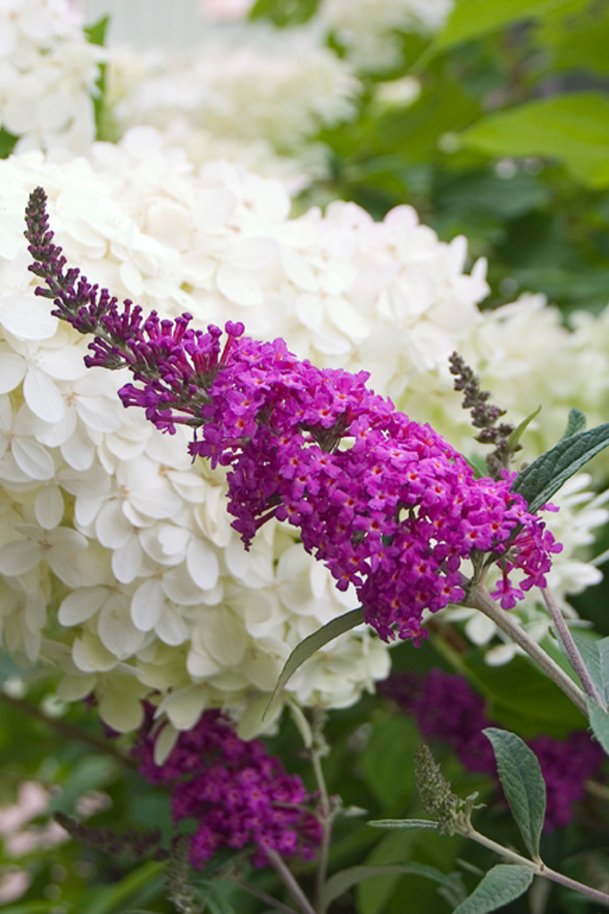 BUDDLEJA ´Miss Ruby´Ⓢ PW®