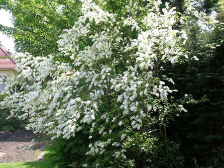 EXOCHORDA racemosa (= grandiflora)