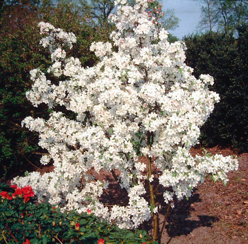 MALUS ´Evereste´ (´Perpetu´)®