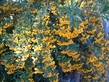 PYRACANTHA coccinea ´Soleil d´Or´ (= ´Sungold´)