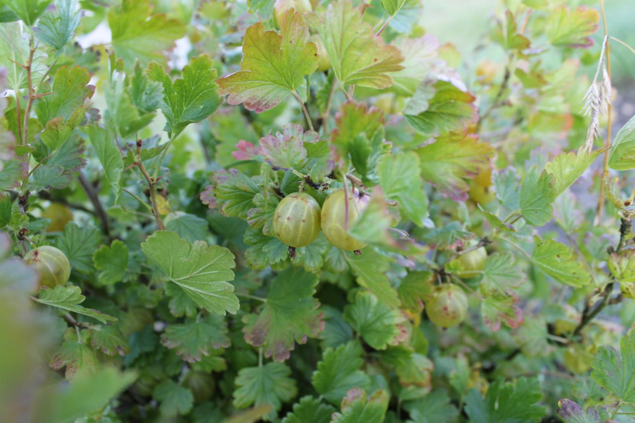 RIBES uva-crispa ´Hinnonmäki gelb´