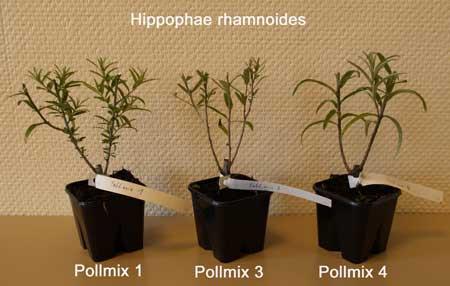 HIPPOPHAE rhamnoides ´Pollmix 4´