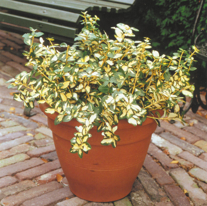 EUONYMUS fortunei ´Blondy´®