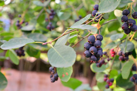 AMELANCHIER alnifolia ´Greatberry® Garden´ (= alnifolia ´Northline´)