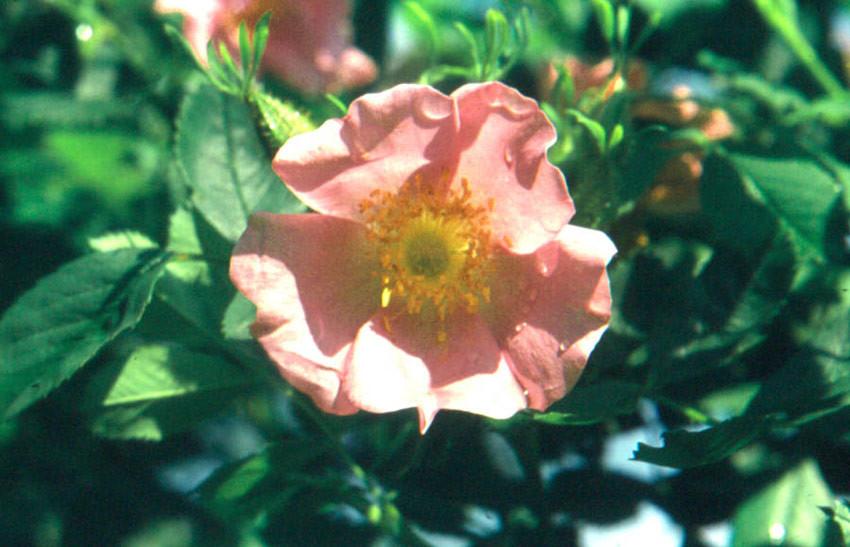 ROSA virginiana (= lucida, carolinensis)