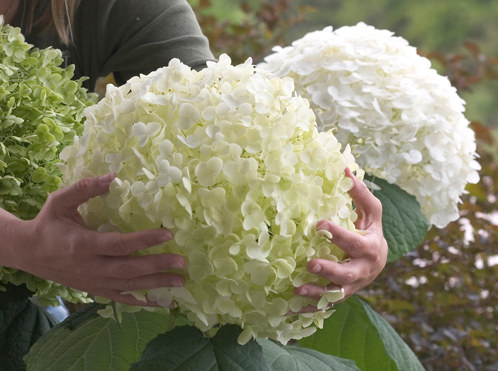 HYDRANGEA arborescens ´Strong Annabelle´® (´Incrediball´)® (´Abetwo´)Ⓢ PW®