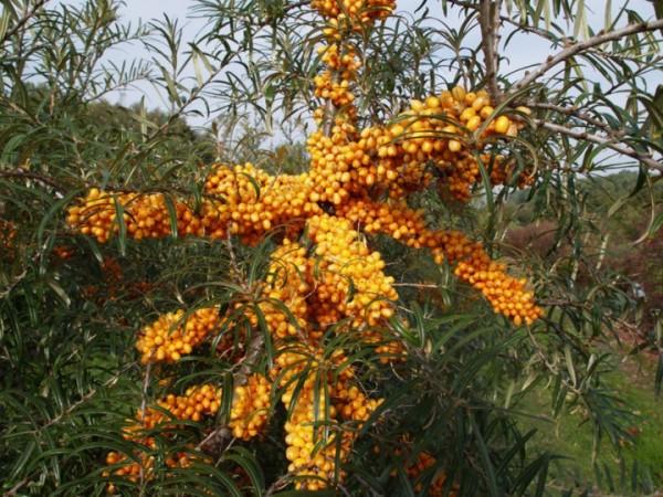 hippophae-rhamnoides-orange-energy-3530b71c30de89