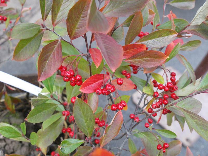 ARONIA arbutifolia ´Brilliant´