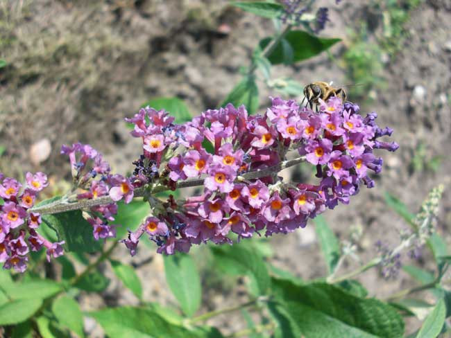 BUDDLEJA ´Bicolor´ (=´ Flower Power´)