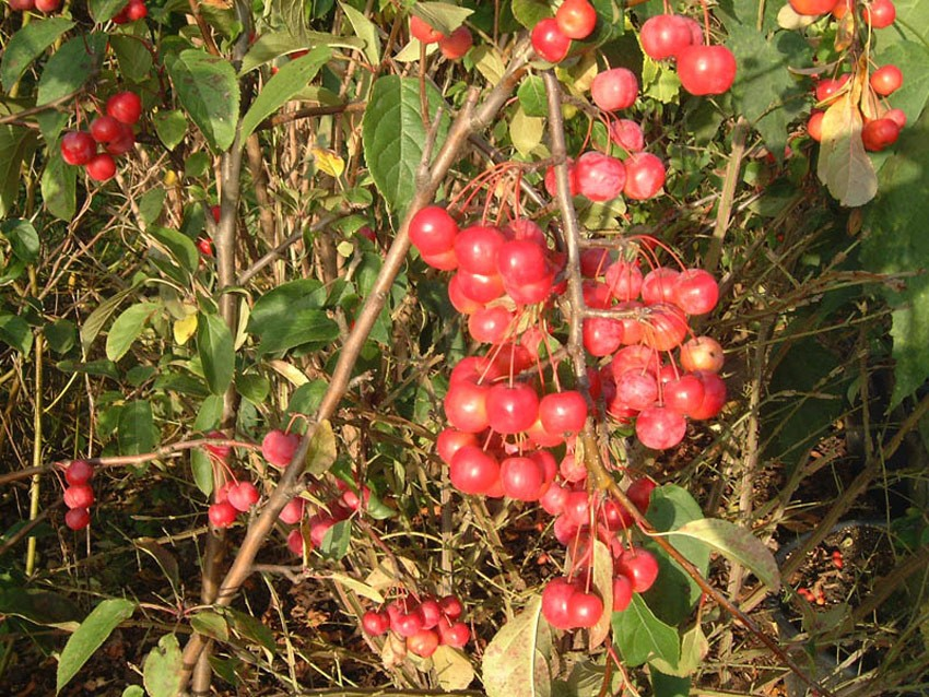 MALUS ´Red Sentinel´ (= robusta ´Red Sentinel´)