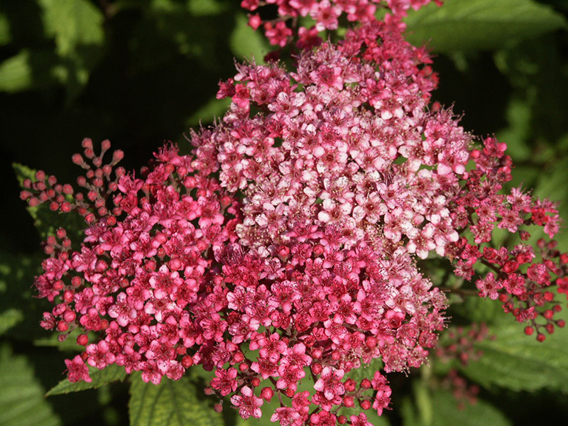 SPIRAEA japonica ´Darts Red´