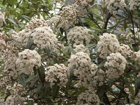 VIBURNUM ´Pragense´ (= pragense, pragense ´Josef´)(rhytidophyllum x utile)
