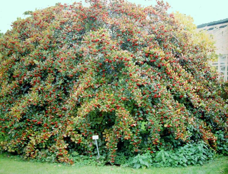 CRATAEGUS prunifolia (= persimilis, crus-galli var. splendens)
