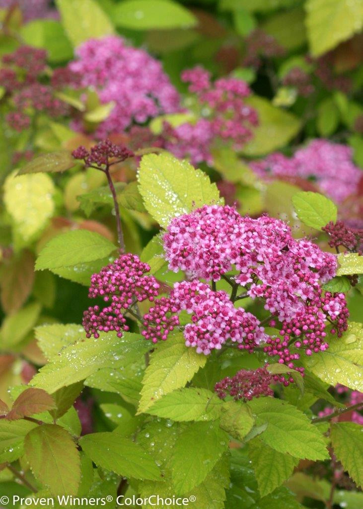 SPIRAEA japonica ´Double Play® Big Bang´ (´Tracy´)Ⓢ PW®
