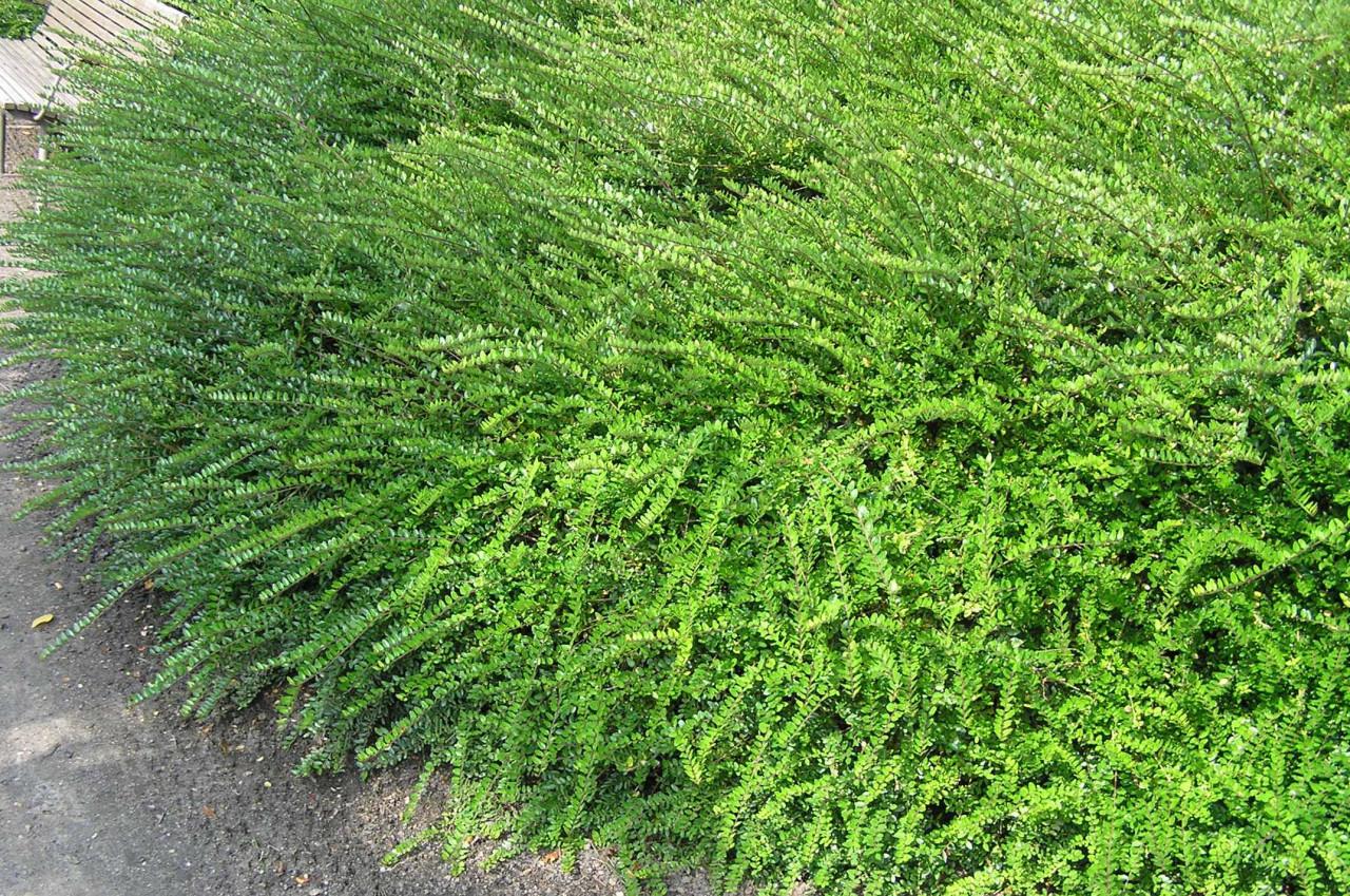 LONICERA nitida ´Elegant´ (= pileata f. yunnanensis)