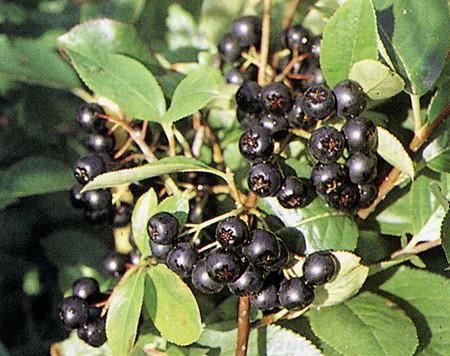 ARONIA prunifolia ´Viking´ (= melanocarpa ´Viking´)